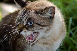 Kattengedragsdeskundige gedragstherapie voor katten